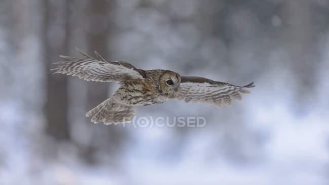 Cárabo volando a través del bosque de invierno cubierto de nieve - foto de stock