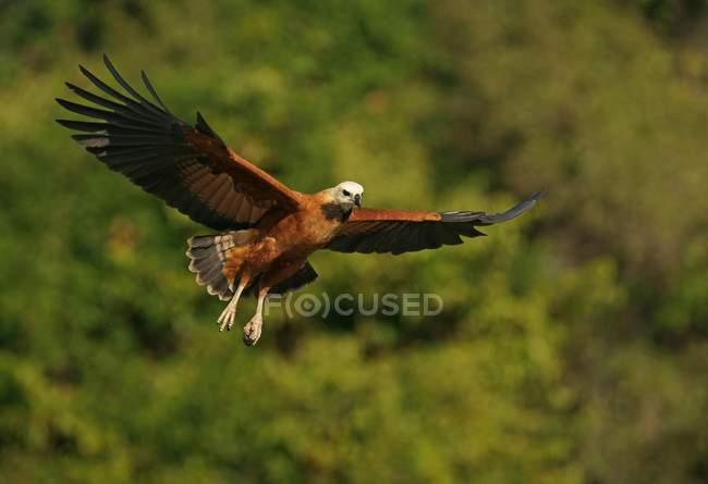 Black-collared hawk volando contra la densa vegetación del Pantanal, Mato Grosso, Brasil, Sudamérica - foto de stock