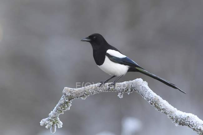 Common magpie sitting at freezing temperature on branch, close-up — Stock Photo