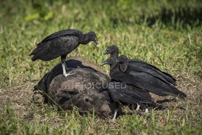 Buitres negros en canal de jabalí, Pantanal, Mato Grosso do Sul, Brasil, Sudamérica - foto de stock