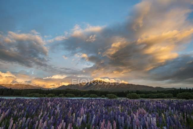 Люпин на закате на берегу озера Текапо, Текапо, Кентербери региона, Southland, Новая Зеландия, Океания — стоковое фото