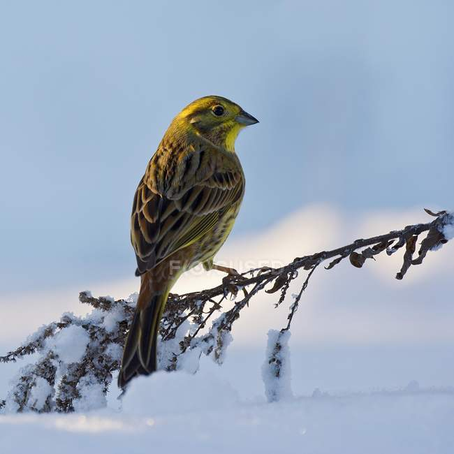 Yellowhammer perched on twig in the snow, Tyrol, Austria, Europe — Stock Photo