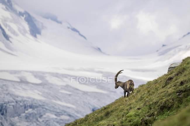 Steinbock vor Gletscher, Nationalpark Hohe Tauern, Kärnten, Austria, Europe — Stockfoto