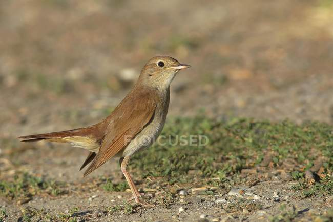 Nightingale bird standing on ground, close-up — Stock Photo