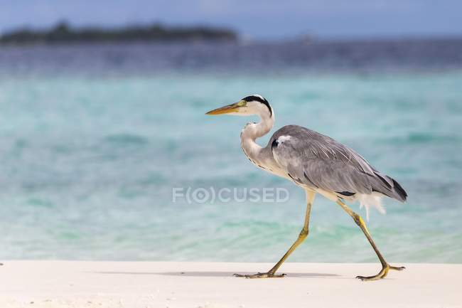 Grey heron walking on sandy beach, Gangehi Island, Ari Atoll, Maldives, Asia — Stock Photo