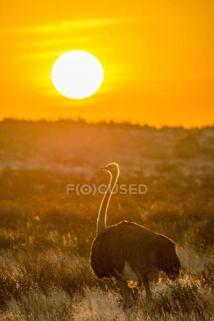 Ostrich in front of setting sun, Kgalagadi Transfrontier National Park, North Cape, South Africa, Africa — Foto stock