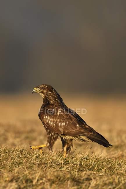 Pie de pájaro zopilote en hierba del campo al aire libre - foto de stock