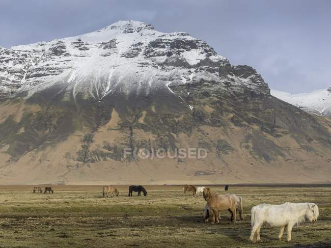 Icelandic horses on pasture, snow-capped mountains in background, Skogar, Suourland, Iceland, Europe — Stock Photo