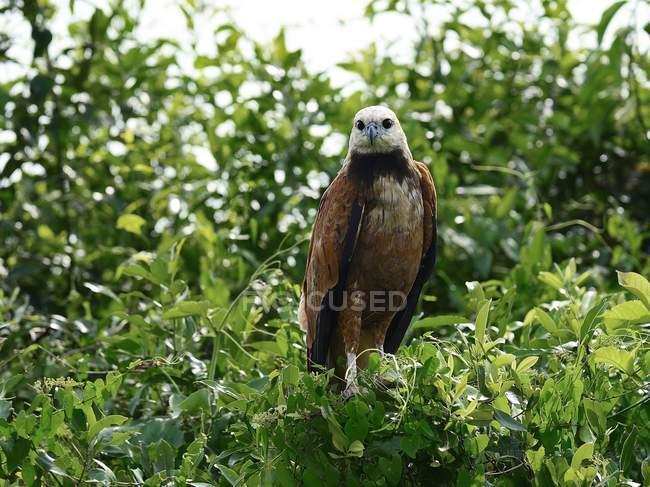 Black-collared hawk sentado en el árbol de la América del sur, Mato Grosso do Sul, Brasil, - foto de stock