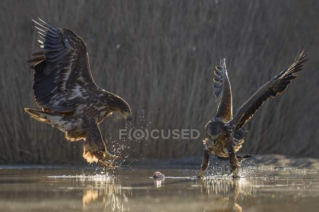 White-tailed eagles fighting over fish carcass in shallow water of fishpond — Stock Photo