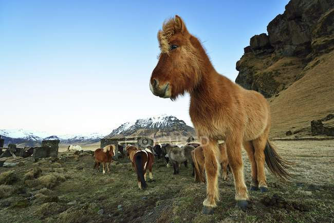 Icelandic horses and ponies at Vik, Iceland — Stock Photo