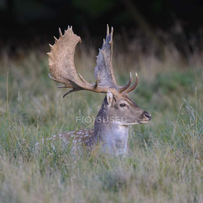 Fallow deer resting in meadow grass — Stock Photo