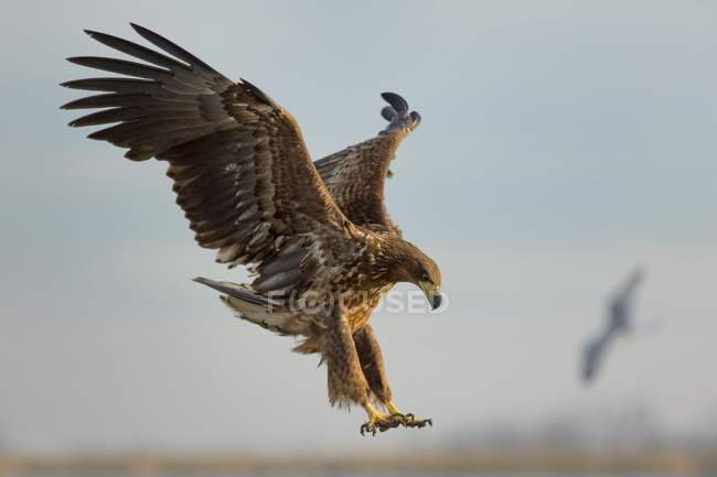 White-tailed eagle approaching in flight while hunting — Stock Photo