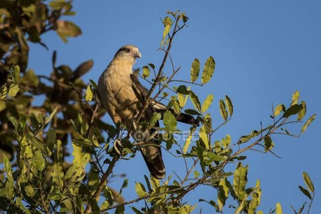 Caracara cabeza amarilla sentada en el árbol, Pantanal, Mato Grosso Sul, Brasil, Sudamérica - foto de stock