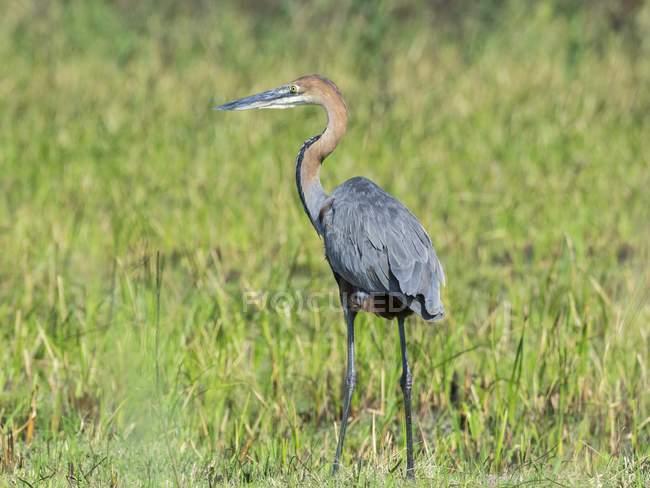 In piedi di Airone rosso su erba di prato verde in Africa — Foto stock