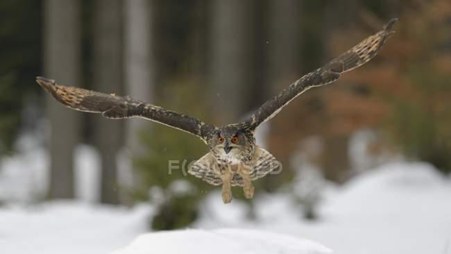 Águila-búho Eurasiática volando sobre la nieve, Moravia, República Checa, Europa - foto de stock