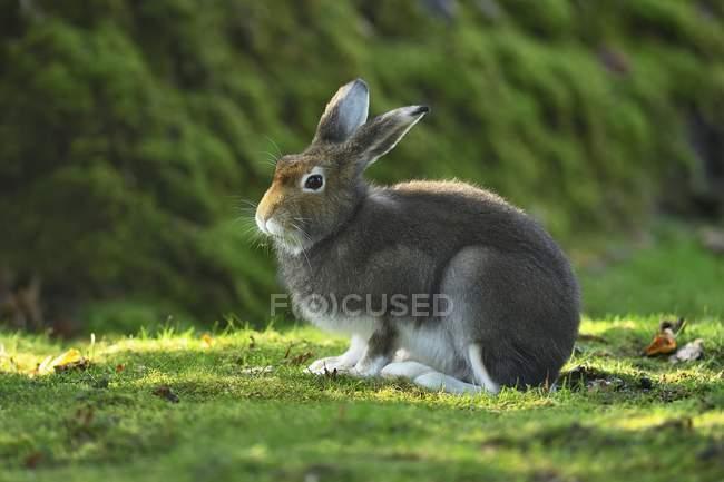 Alpine hare in coat change, sedentary, canton Schwyz, Switzerland, Europe — Fotografia de Stock