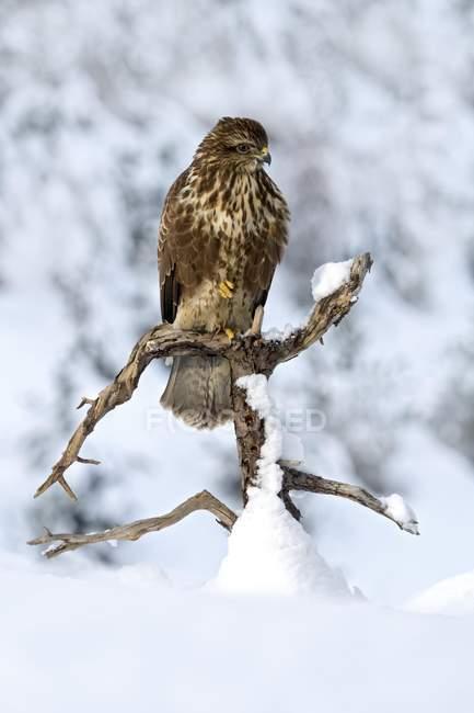 Ratonero de estepa posado en la rama en invierno - foto de stock