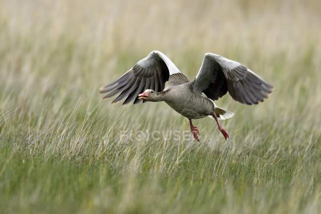 Greylag goose approaching via meadow, National Park Kiskunsag, Hungary, Europe — Stock Photo