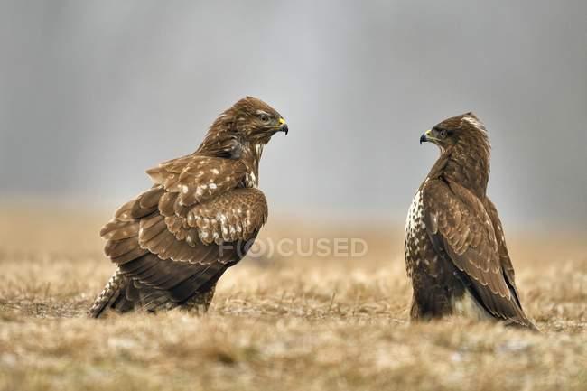 Dos halcones en hierba de pradera - foto de stock