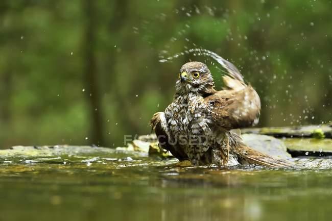 Gavilán, bañarse en la charca en el Parque - foto de stock