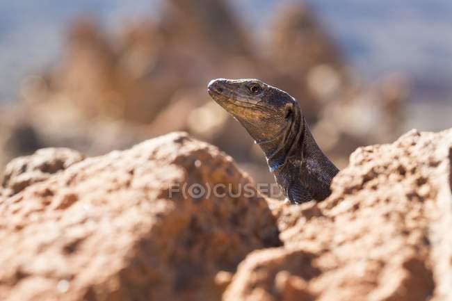 Lagarto de Tenerife em rochas no Parque Nacional de Teide, Tenerife, Ilhas Canárias, Spain, Europa — Fotografia de Stock