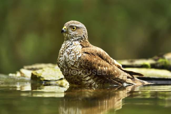 Eurasian sparrowhawk bathing at waterhole in park - foto de stock