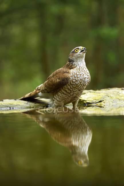 Eurasian sparrowhawk drinking at waterhole in park - foto de stock
