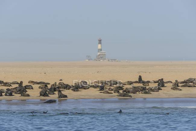 Colônia de focas Sul-Africano na praia com farol e lodge, Pelican Point, Walvis Bay, Erongo região, Namíbia, África — Fotografia de Stock