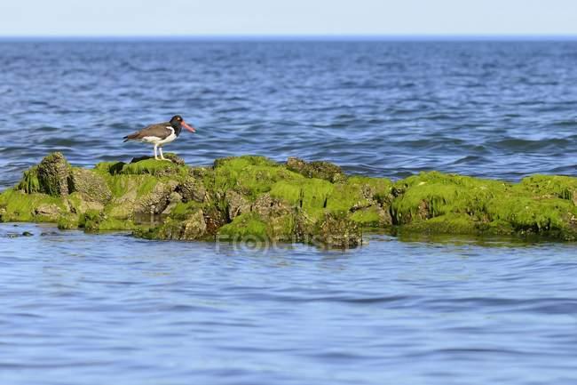 American oystercatcher on rocks near Camarones, Chubut, Argentina, South America — Foto stock