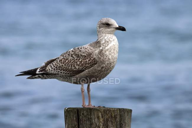 European herring gull sitting on groyne, Fischland-Darss-Zingst, Baltic Sea, Mecklenburg-Western Pomerania, Germany, Europe — Stock Photo