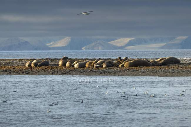 Walruses colony lying on beach of Moffen Island of Moffen Nature Reserve, Spitsbergen, Svalbard and Jan Mayen, Norway, Europe — Stock Photo