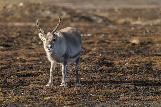 Svalbard reindeer standing in tundra of Spitsbergen Archipelago, Svalbard and Jan Mayen, Norway, Europe — Stock Photo