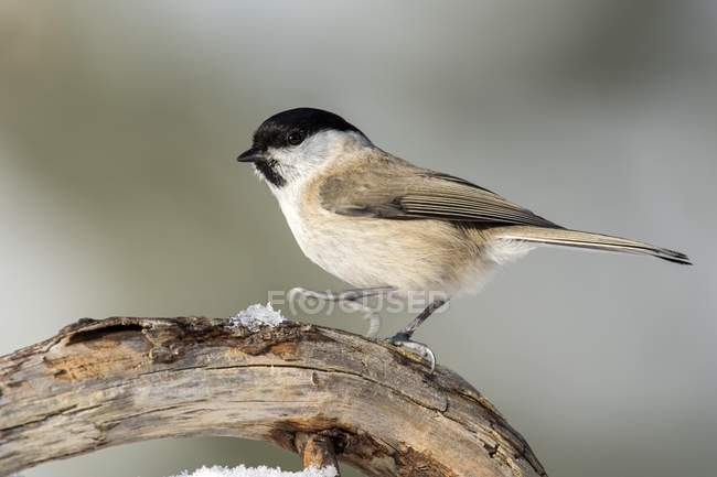 Marsh tit walking on branch, Tyrol, Austria, Europe — Stock Photo