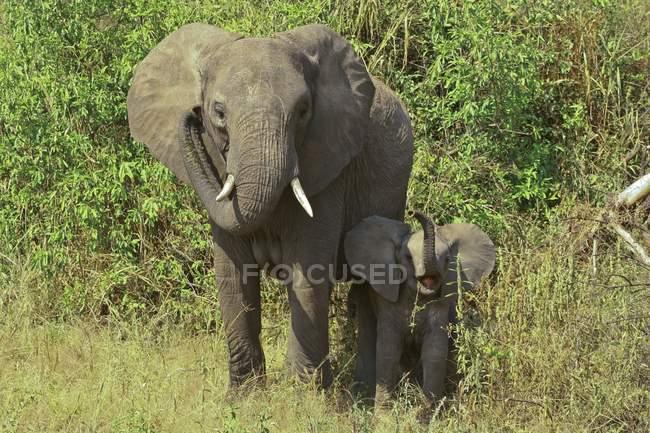 Mucca dell'elefante africano di bush con il vitello, Tarangire National Park, Tanzania, Africa — Foto stock
