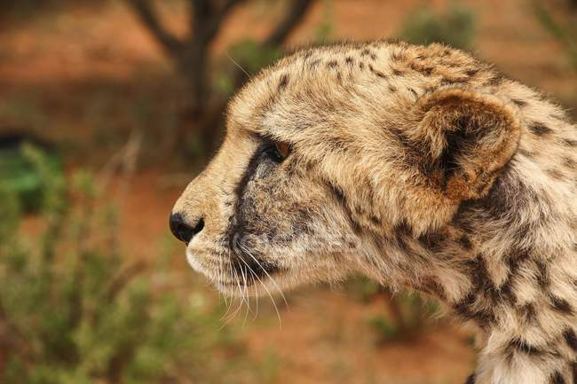 Portrait of cheetah looking alert in Gobabis, Namibia, Africa — Stock Photo