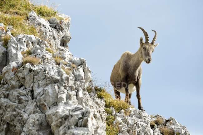 Steinbock stehend auf Felsvorsprung, Kanton Luzern, Schweiz, Europa — Stockfoto