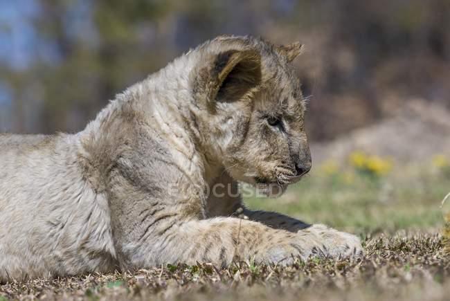 Filhote de leão olhando pra grama antílope parque perto de Gweru, Zimbabwe, África — Fotografia de Stock