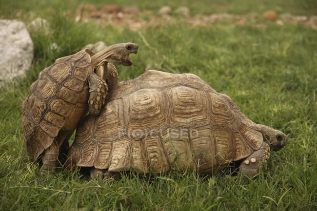 Tartarughe che si accoppiare all'erba verde prato, Gobabis, Namibia, Africa — Foto stock