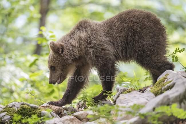 Young European brown bear in forest, Notranjska region, Dinaric Alps, Slovenia, Europe — Stock Photo