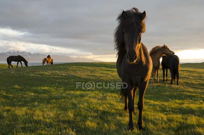Icelandic horses, Husavik area, Norurland eystra region, Iceland, Europe — Stock Photo
