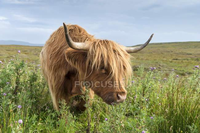 Scottish Highland Cattle in campo del nord della Scozia, Scozia, Regno Unito, Europa — Foto stock