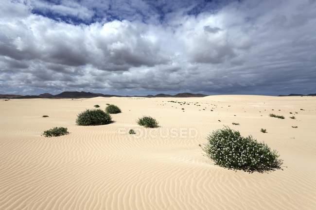Flowering plants growing in sand dunes, wandering dunes El Jable, Las Dunas de Corralejo, Corralejo Natural Park, Fuerteventura, Canary Islands, Spain, Europe — стоковое фото