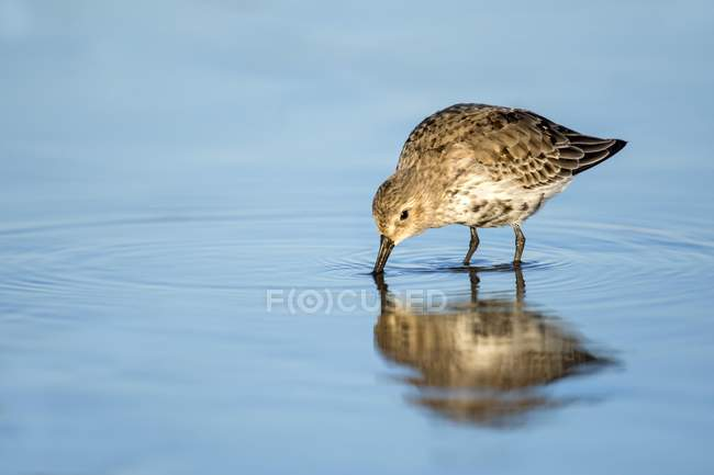 Dunlin foraging in shallow water, Lake Constance, Vorarlberg, Austria, Europe — Stock Photo