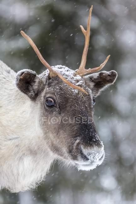 Reindeer in snow, portrait, Kivilompolio, Lapland, Finland, Europe - foto de stock