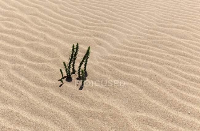 Ononis natrix plants growing in wandering dune sand of El Jable, Las Dunas de Corralejo, Corralejo Natural Park, Fuerteventura, Canary Islands, Spain, Europe — Stockfoto