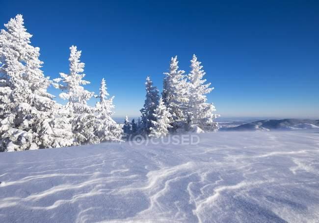 Снігова spruces на Браунек, Lenggries, Isarwinkel, Верхня Баварія, Баварія, Німеччина, Європа — стокове фото