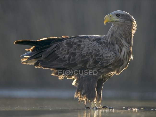 Pé de Águia-rabalva em águas rasas da lagoa — Fotografia de Stock