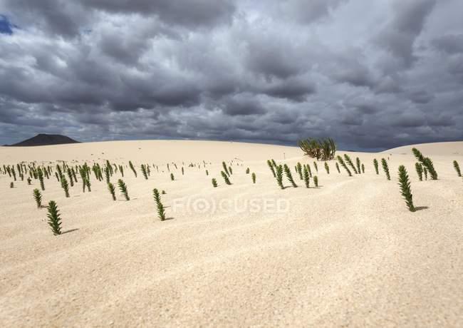 Ononis natrix plants in sand dunes, wandering dunes El Jable, Las Dunas de Corralejo, Corralejo Natural Park, Fuerteventura, Canary Islands, Spain, Europe — Stock Photo