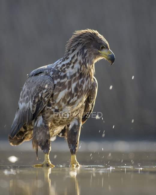 Caça de águia branco-atada na água rasa do lago — Fotografia de Stock